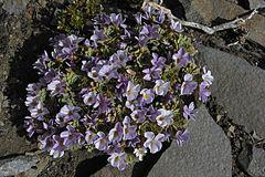 240px alpine violet (3143599599)