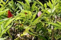 Alpinia purpurata 26zz.jpg