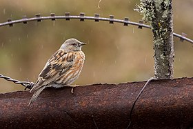 Altai Accentor in Sikkim India.jpg