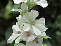 Althaea officinalis-IMG 4542.jpg