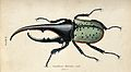 Amale scarabaeus beetle. coloured engraving by W. H. Lizars. Wellcome V0020757.jpg