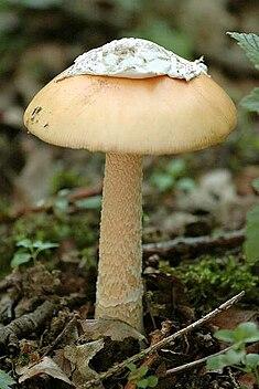 Amanita crocea - Lindsey.jpg
