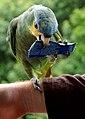 Amazona amazonica -near Ariau Towers, Manaus, Brazil-8a.jpg