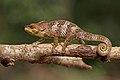 Amber Mountain chameleon (Calumma amber) male Montagne d'Ambre 2.jpg