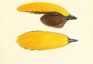 Yellow crown gardener (head profile and top of the head of the male)