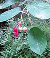 Amelanchier lamarckii (1201).jpg