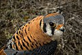 American Kestrel head.jpg
