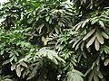 Amherstia nobilis (3716631925).jpg