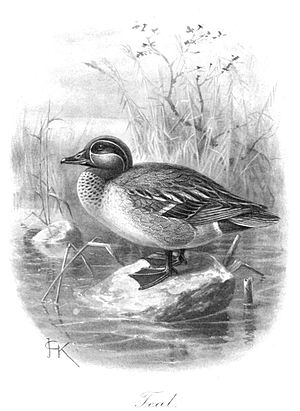 English: Green-winged Teal Male (Anas crecca)