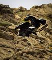 Andean Condors.jpg