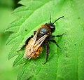Andrena fulva female (43689729812).jpg