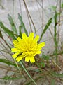 Andryala integrifolia. Gazapegu.jpg
