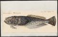 Anema monopterygium - 1700-1880 - Print - Iconographia Zoologica - Special Collections University of Amsterdam - UBA01 IZ13200025.tif