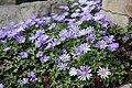 Anemone blanda MS 0152.jpg