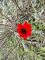 Anemone coronaria, growing wild in Dirfi.jpg
