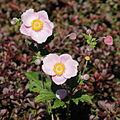 Anemone hupehensis-IMG 5568.jpg