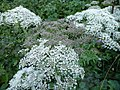 Angelica sylvestris 02 by Line1.jpg