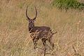 Animal at Pilanesberg National Park.jpg