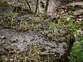 Anisochilus carnosus (9932079536).jpg