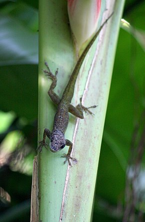 Description de l'image Anolis extremus-h03.jpg.