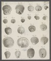 Anomia spec. - - Print - Iconographia Zoologica - Special Collections University of Amsterdam - UBAINV0274 074 06 0008.tif