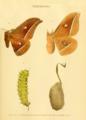 Antheraea pernyi -illustration 1897.png