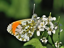 Anthocharis cardamines qtl1.jpg