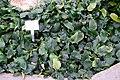 Anubias barteri var. nana - Botanischer Garten - Heidelberg, Germany - DSC01278.jpg