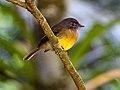 Aphanotriccus capitalis -near Rancho Naturalista, Cordillera de Talamanca, Costa Rica-8.jpg