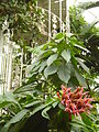 Aphelandra sinclairiana (Orange shrimp plant) (Panama Queen).JPG