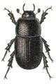 Aphodius subterraneus.png