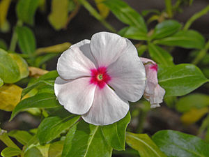 Catharanthus roseus - Pale Pink with Red Centre Cultivar