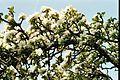 Apple Blossom5.JPG