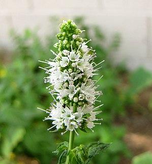 English: Apple mint (Mentha suaveolens) flower...