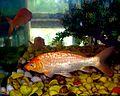Aquarium fish6.jpg