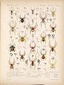Arachnida Araneidea Vol 1 Table 4.jpg