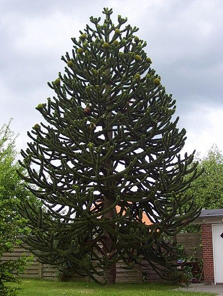 File:Araucaria-araucana.jpg