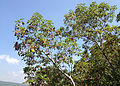 Arbutus andrachne - Greek Strawberry Tree - Sandal Ağacı 05.JPG