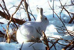 Un lièvre variable, en hiver, dans la neige