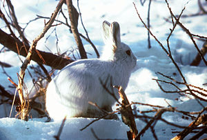 Prey detection - Prey have adaptations such as cryptic coloration in this Arctic hare which help them avoid predators.