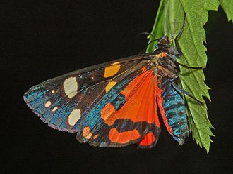 Scarlet tiger moth - Ventral