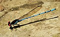 Argia cupraurea - Ruby Dancer (42033785205).jpg