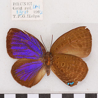 <i>Arhopala major</i> species of insect