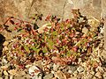 Arizona Spurge - Flickr - treegrow.jpg