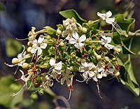 Arni (Clerodendrum phlomidis) at Sindhrot near Vadodara, Gujrat Pix 048