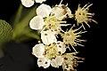Aronia melanocarpa, black chokeberry flr. Howard County, MD, HeLoMetz 2017-05-26-17.06 (25378234658).jpg