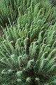 Artemisia filifolia.jpg