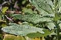 Artemisia suksdorfii 6615.JPG