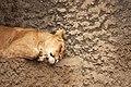 Artis Lioness chilling (13011201044).jpg
