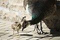 Artis Peacock chick (35849177000).jpg